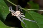 Exuvie de Sparassidae - 8 mm pour le céphalothorax - Bulusan lake - 27.1.16