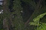 Nephila pilipes - 45 mm - Bulusan lake - 27.1.16