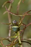 Araneus cyrtarachnoides - 5 mm - May It - 14.6.2016