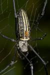 Nephila pilipes - Couple - 45 à 47 mm et 7 à 8 mm - Cajidiocan - 27.6.2016