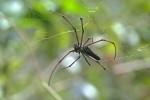 Nephila kuhlii - Femelle - 20 mm - Cajidiocan - 29.6.16