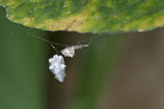 Uluboridae sp - 4 mm - Calayan - Mindoro - 21.7.16