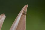 Araneae sp - Mâle - 7 mm - Quezon National Park - 29.7.2016
