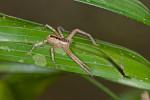 Sparassidae sp - 11 mm - Quezon National Park - 29.7.2016