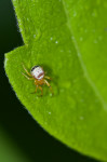 Araneae sp - 1,5 mm - Lucena - 30.7.2016