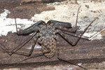 Phrynichidae - 25 mm - Panay - 20.8.2016