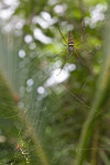 Nephila sp - Couple - Femelle 27 mm - Mâle 7 à 8 mm - Panay - 21.8.2016