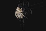Araneidae sp - 10 mm - Quezon National Park - 30.8.2016