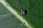 Sclerosomatidae - Gagrellinae - 5 mm - May It - 9.11.2016
