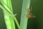 Amycinea lineatipes - 5 mm - Talipanan - 23.11.2016