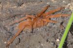 Theraphosidae - 45 mm - Bulabog Putian - 27.1.2017