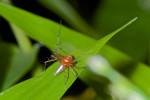 Oxyopidae - 4 mm - Bulabog Putian - 29.1.2017