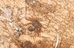 Charontidae - 5 mm - Bulusan lake - 28.2.2017