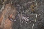 Scorpionidae - Heterometrus longimanus - 14 mm - May It - 20.1.2018