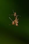 Amyciaea - Juvénile ? - 3 mm - Sanctuary Garden - Magdiwag - Sibuyan
