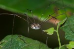 Sclerosomatidae - Gagrenellinae - Gagrella sp - 5 mm - Talipanan - 21.3.2018
