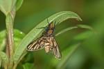 Oxyopides sp - 9 mm - Cajidiocan - 26.4.2019 - vs Erebidae