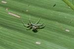 Orthrus calilungae ( Barrion, 1998) - Mâle - 8 mm environ - Quezon National Park - 28.3.2019
