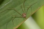 Podoctidae - Ibaloniinae - Ibalonius - Real - 5.4.2019