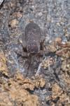 Theraphosidae - 15 mm - Talipanan - 14.5.2019